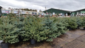 Potted Christmas Trees
