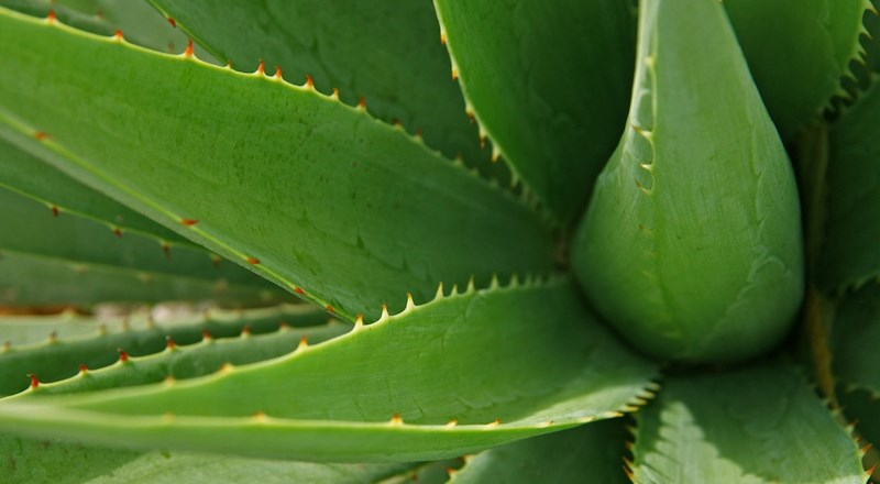 10-houseplants-for-healthier-air-quality-at-home-aloe-vera-header-image.jpg