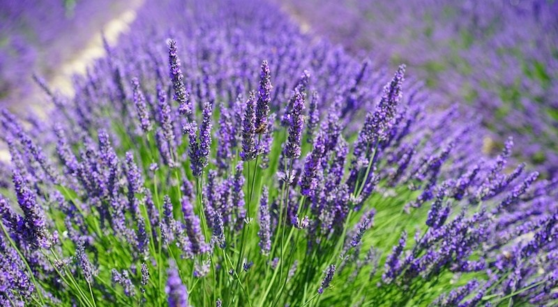 a-quick-look-at-lavender-090617.jpg