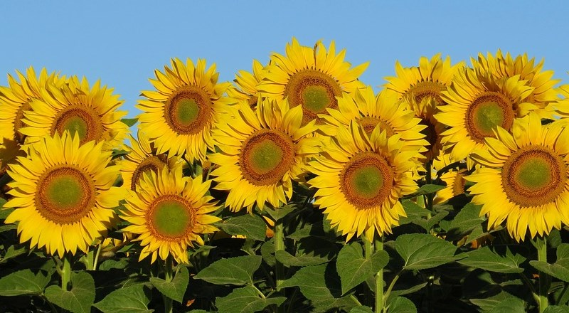 grow-your-own-sunflowers-national-childrens-gardening-week.jpg