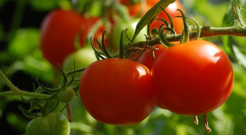 grow-your-own-tomatoes-national-childrens-gardening-week.jpg