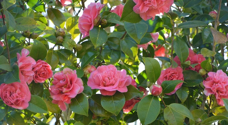 how-to-grow-camellias-280318.jpg