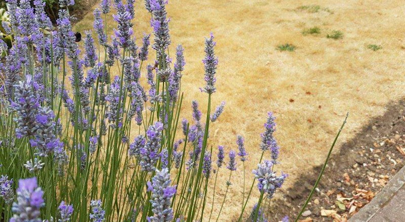 lawn-drought-advice-from-westland-horticulture.jpg