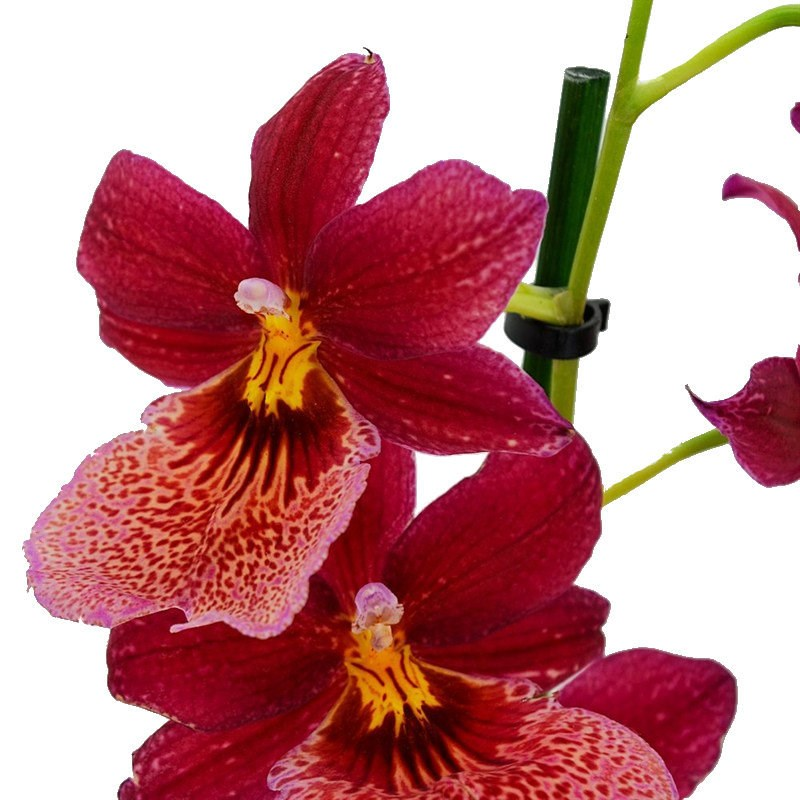 Cambria orchid single stem nelly isler red houseplant 12cm pot for Orchidee da esterno