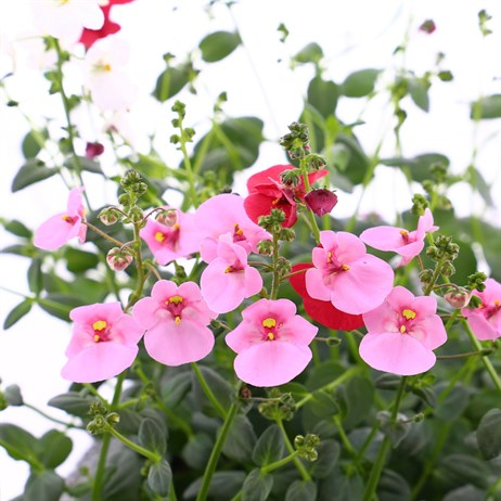 Diascia Collection 6 Pack Boxed Bedding