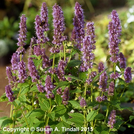 Agastache Blue Fortune Perennial Plant in a 9cm Pot