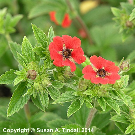 Potentilla Monarchs Velvet Perennial in a 9cm Pot