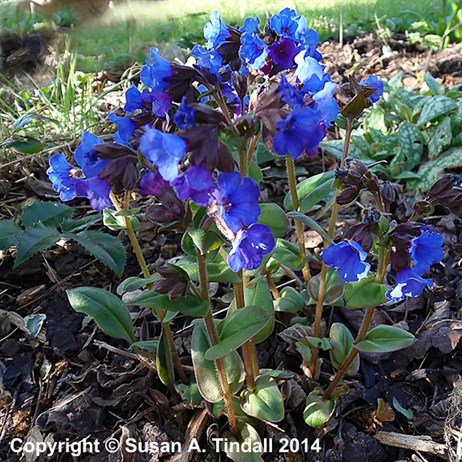 Pulmonaria Blue Ensign Perennial in a 2L Pot