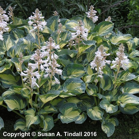 Hosta 'Great Expectations' Perennial in a 9cm Pot