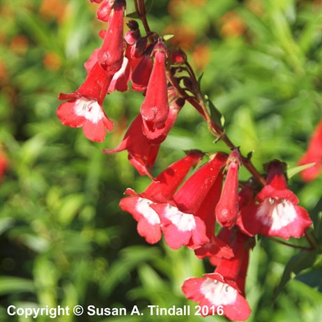 Penstemon 'King George V' Perennial in a 9cm Pot