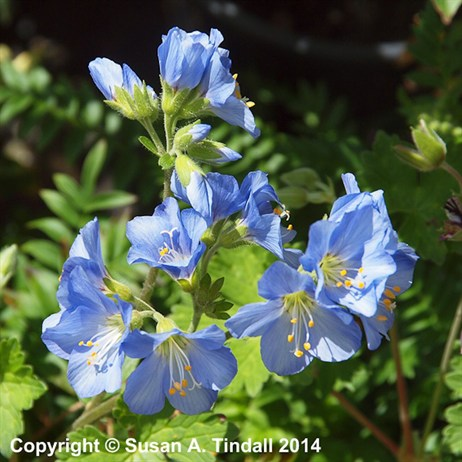 Polemonium Northern Lights Perennial Plant in a 2L Pot