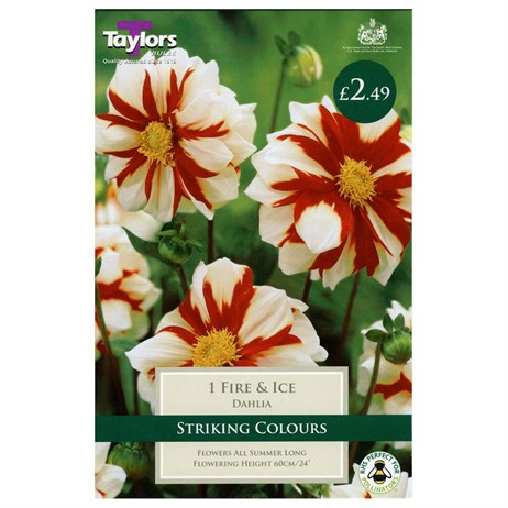 Taylors Bulbs Dahlia Fire & Ice (Single Pack) (TS422)