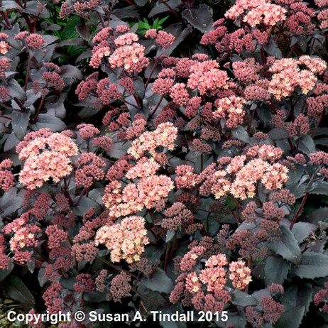 Sedum Purple Emperor Perennial in a 2L Pot