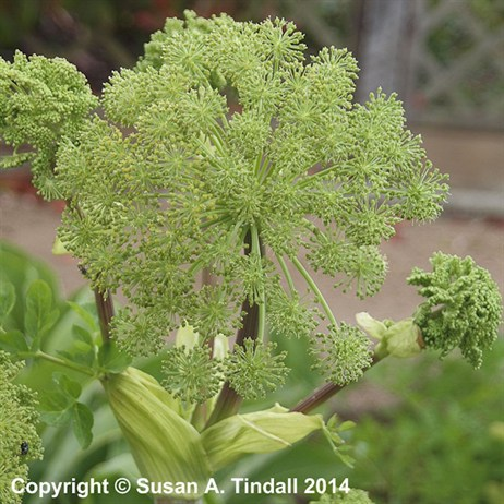 Angelica Archangelica Perennial in a 9cm Pot