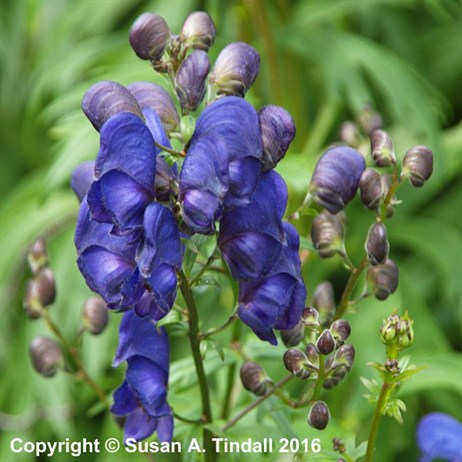 Aconitum 'Spark's Variety' Perennial in a 2L Pot