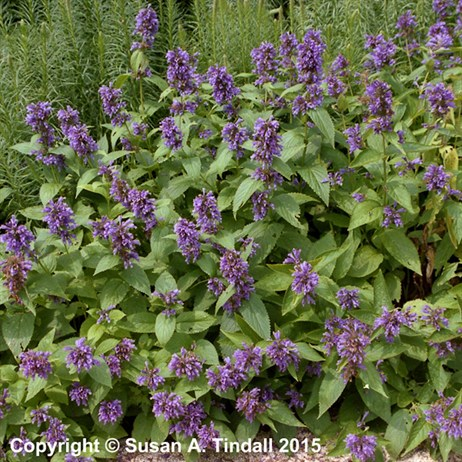 Nepeta Subsessilis Perennial Plant in a 2L Pot
