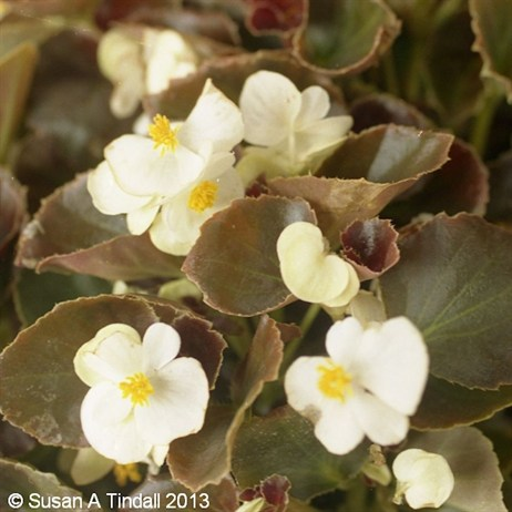 Begonia White Bronze Leaf 6 Pack Boxed Bedding