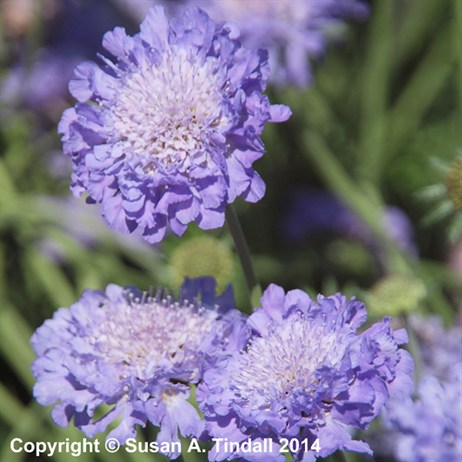 Scabiosa Butterfly Blue Perennial in a 2L Pot