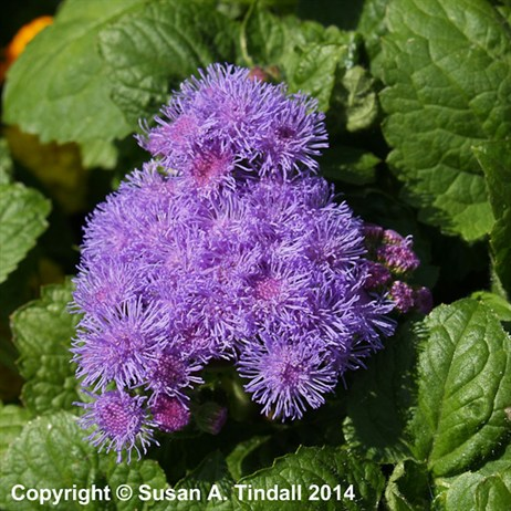 Ageratum F1 Hybrid 6 Pack Boxed Bedding