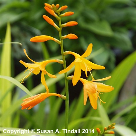 Crocosmia George Davidson Perennial in a 9cm Pot