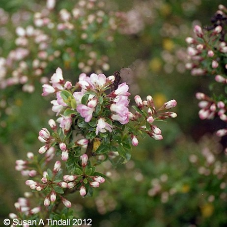 Escallonia Apple Blossom 3L