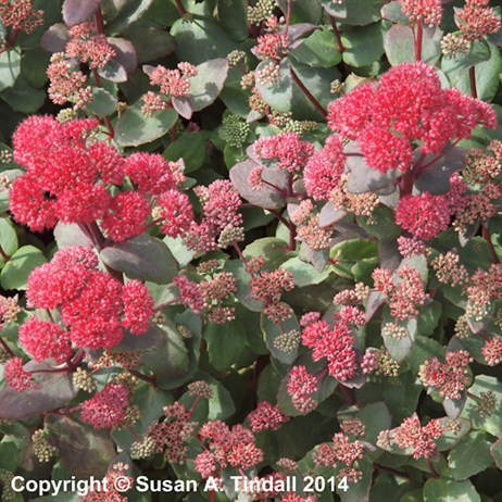 Sedum Red Cauli Perennial in a 2L Pot