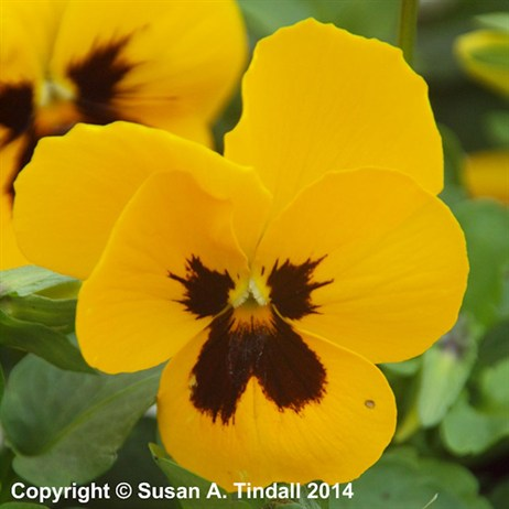 Pansy F1 Hybrid Yellow Blotch 6 Pack Boxed Bedding