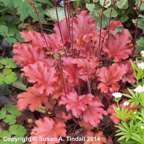 Heuchera Peach Flambe Perennial Plant in a 9cm Pot