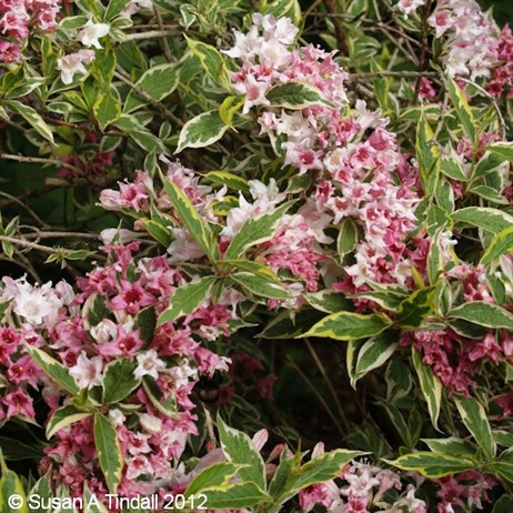 Weigela florida Variegata Shrub 3L Pot