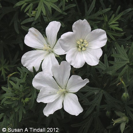 Geranium San Album Perennial in a 9cm Pot
