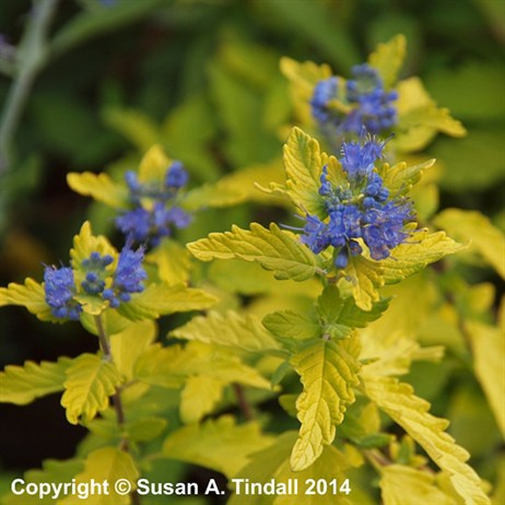 Caryopteris Sunshine Blue in a 3L Pot