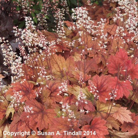 Heucherella Sweet Tea Perennial in a 9cm Pot