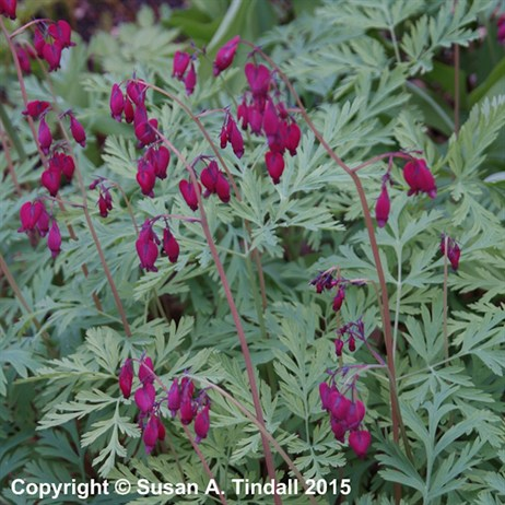 Dicentra Form. Bacchanal Perennial in a 2L Pot
