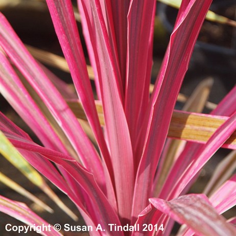Cordyline Pink Passion in a 3L Pot