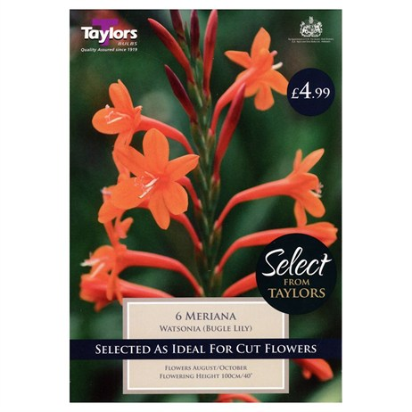 Watsonia Meriana (Pack of 6) - Taylors Bulbs (SSE152)