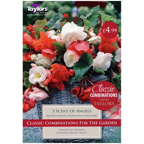 Taylors Bulbs Begonia Scent Of Angels (3 Pack) (CC603)