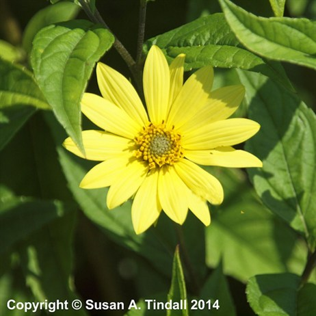Helianthus Lemon Queen Perennial Plant in a 2L Pot