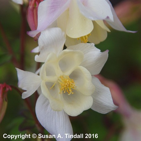Aquilegia Spring Magic White Perennial Plant in a 9cm Pot