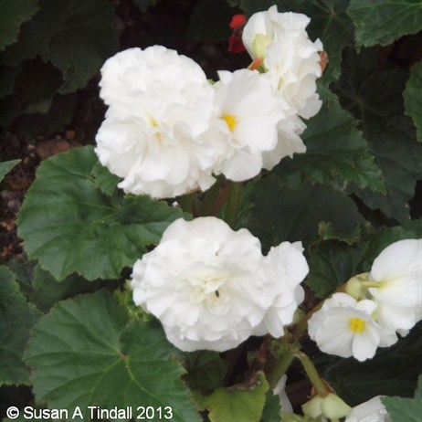 Begonia Nonstop White 6 Pack Boxed Bedding