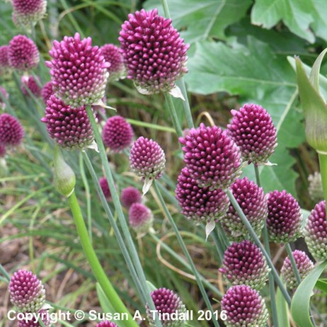 Allium Sphaerocephalon Perennial in a 2L Pot