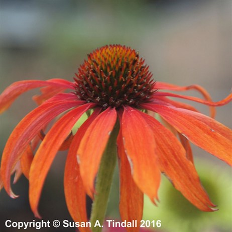Echinacea 'Tomato Soup' Perennial Plant in a 2L Pot