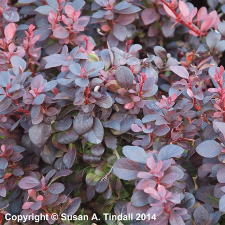 Berberis thunb. Concorde in a 3L Pot