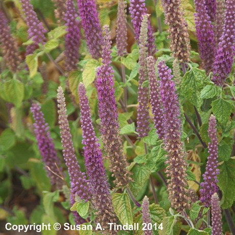 Teucrium Hir. Purple Tails Perennial in a 9cm Pot