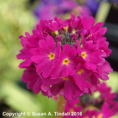 Primula Denticulata 'Ruby' Perennial in a 9cm Pot