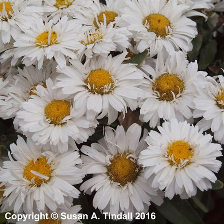 Leucanthemum X Superbum Freak Perennial in a 2L Pot