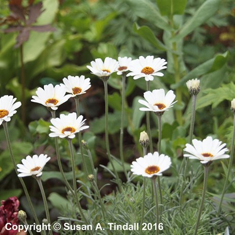 Rhodanthemum 'Casablanca' Perennial in a 2L Pot