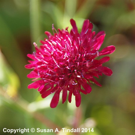 Knautia Macedonica Red Knight Perennial Plant in a 2L Pot