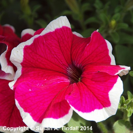 Petunia Grandiflora Rose Ice 6 Pack Boxed Bedding