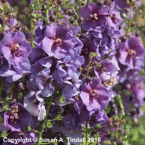 Verbascum 'Sugar Plum' Perennial in a 2L Pot