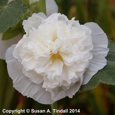 Alcea Chaters Double White Perennial in a 9cm Pot